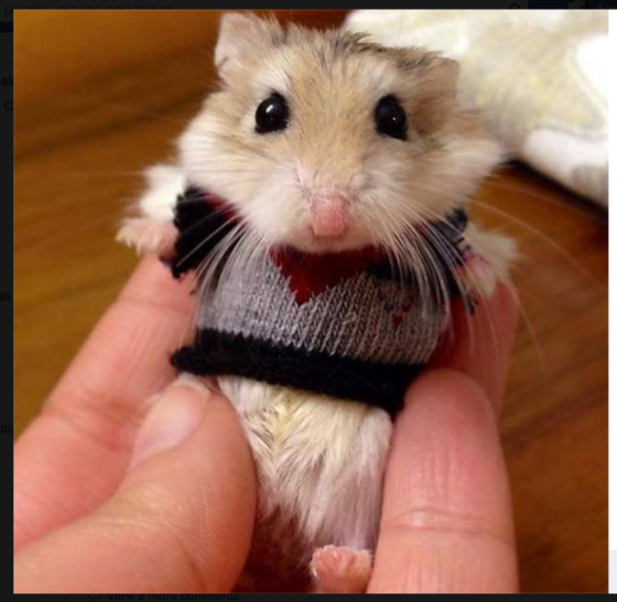 Hamster ... in a sweater.